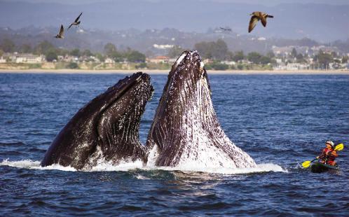 Whales Breaching by Kayaker in Santa Cruz